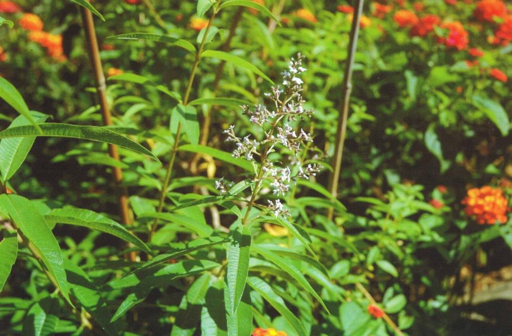 Verveine citronnelle ou Aloysia Triphylla - Aplamedom Réunion