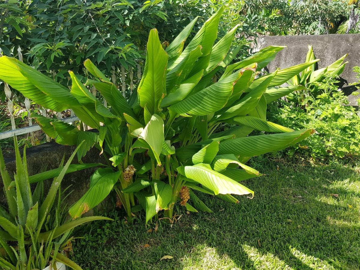 Curcuma - Plante médicinale - Aplamedom Réunion